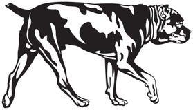 Cane Corso dog walk Royalty Free Stock Photos