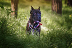 Cane Corso. Dog walking in the woods Stock Photography