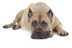 Cane Corso dog on white background Royalty Free Stock Images