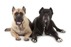 Cane Corso dogs Royalty Free Stock Photos