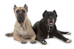 Cane Corso dogs on white background Royalty Free Stock Photography