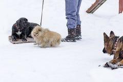 Cane Corso e cani nel parco di inverno Immagine Stock