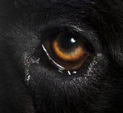 Cane corso eye. Macro Cane corso eye in studio Stock Images