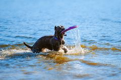 Cane Corso fängt das Spielzeug im Wasser Stockfotos