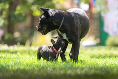 Cane corso and French bulldog Royalty Free Stock Images