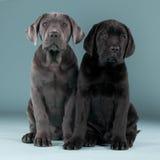 Cane Corso friends. Two adorable cane corso friends posing lovely in studio Royalty Free Stock Photos