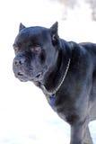 Cane Corso-hond` s gelaatsuitdrukking Royalty-vrije Stock Foto's
