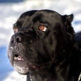 Cane Corso-hond` s gelaatsuitdrukking Royalty-vrije Stock Foto
