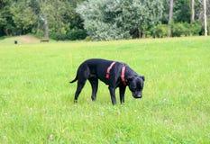 Cane Corso-Hund im Park Lizenzfreie Stockfotos