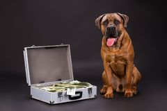 Cane corso and hundred of dollars. Huge pedigreed dog and suitcase full of currency on dark background, studio shot. Muscular protection of your finance Royalty Free Stock Photography