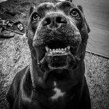 Cane corso italian mastiff eyes face smile. There is cane corso Italian mastiff with expression of joy on her face , only owners of this pet can recognise royalty free stock images