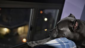 Cane corso italian mastiff guard night window. There is cane two year old cane corso italian mastiff looking at night window , his behavor as defender of home royalty free stock photos