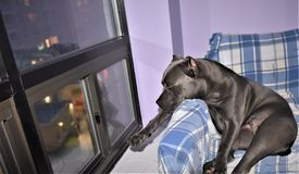 Cane corso italian   mastiff  guard  night window. There is cane two year old cane corso italian mastiff looking at night window , his behavor as defender of Royalty Free Stock Image