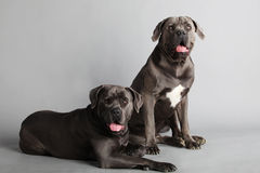 Cane Corso Italiano Couple Royalty Free Stock Photo