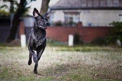 Cane Corso Italiano. The dog runs on the road Stock Photo