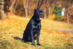 Cane corso italiano dog Stock Images