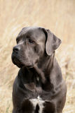 Cane Corso Italiano Portrait Stock Photos