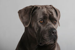 Cane Corso Italiano Portrait royalty free stock photography