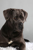 Cane Corso Italiano Portrait royalty free stock image