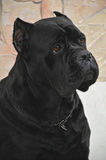 Cane Corso Italiano Stock Photos