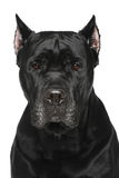 Cane Corso Italiano. Portrait on white background stock photos