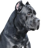 Cane corso Italiano Royalty Free Stock Photos
