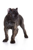 Cane Corso Italiano puppy Royalty Free Stock Photos