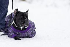 Cane Corso lays on the snow stock photo