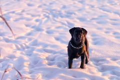 Cane Corso looking at the camera and stands on the snow royalty free stock photography