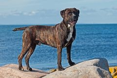 Cane corso male stands stately on a rocks. With the sea in the background stock images