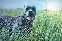 Cane corso mastiff field long green grass morning stock photos