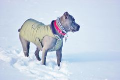 Cane corso mastiff winter snow royalty free stock photography