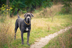 Cane corso on the meadow Stock Image