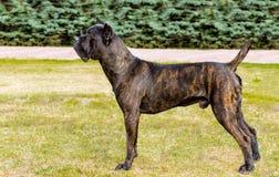 Cane Corso no perfil Foto de Stock Royalty Free