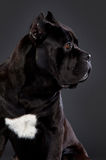 Cane Corso portrait. Black cane corso sideways in studio Royalty Free Stock Photos