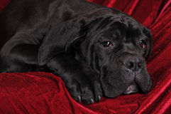 Cane corso portrait lying Royalty Free Stock Photography