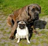 Cane Corso and Pug stock photo