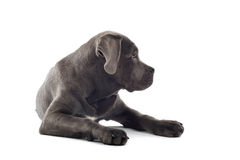 Cane corso pup. Isolated on a white background Stock Photo