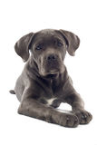 Cane corso pup Royalty Free Stock Photo