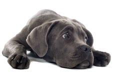 Cane corso pup Stock Photos