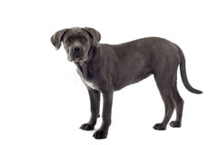 Cane corso pup Stock Photography