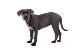 Cane corso pup Stock Photography