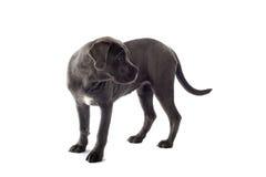 Cane corso pup Stock Photo