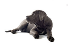 Cane corso pup Stock Image