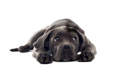 Cane corso pup Stock Photos