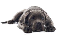 Cane corso pup Royalty Free Stock Image