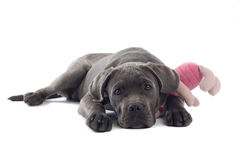 Cane corso pup Royalty Free Stock Images