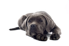 Cane corso pup. Isolated on a white background Stock Photography