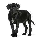 Cane corso puppy, 3 months old, standing Stock Photo