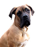 Cane Corso Puppy Royalty Free Stock Photography